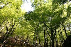 Les bukovy
