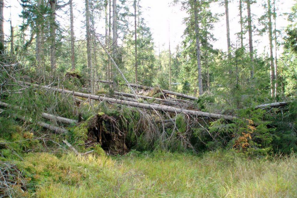 Trh s drevom v stredoeurópskom regióne je presýtený kalamitami